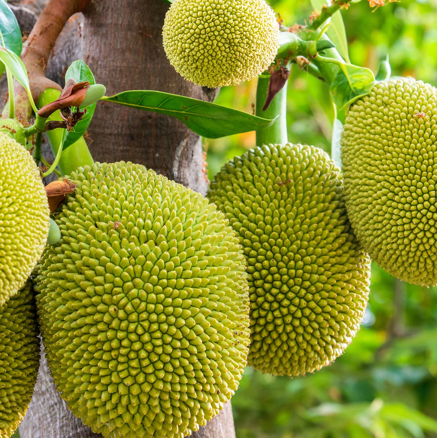jacks jackfruit